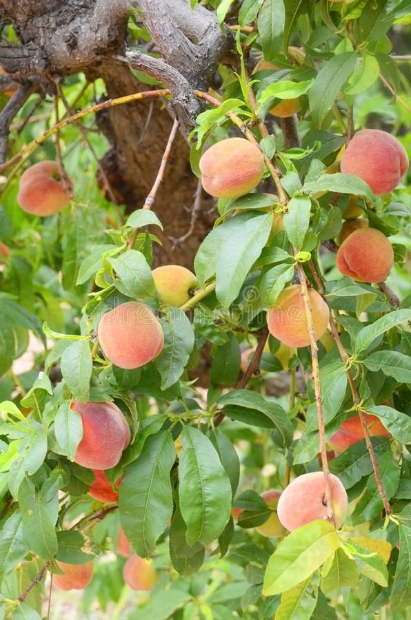 Tree Full of Juicy Ripe Peaches Ready for Harvest stock image
