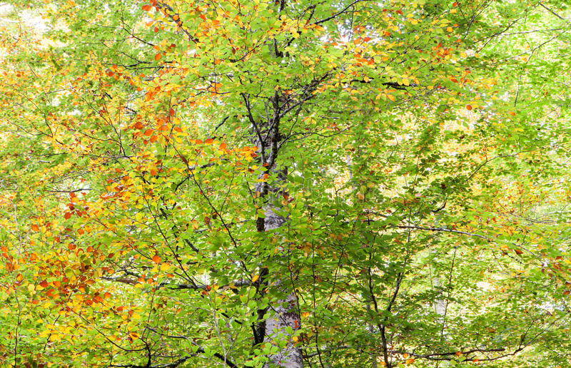 Tree full of leaves starting to turn yellow. Come autumn stock image