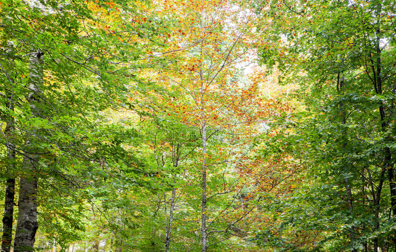Tree full of leaves starting to turn yellow. Come autumn royalty free stock images