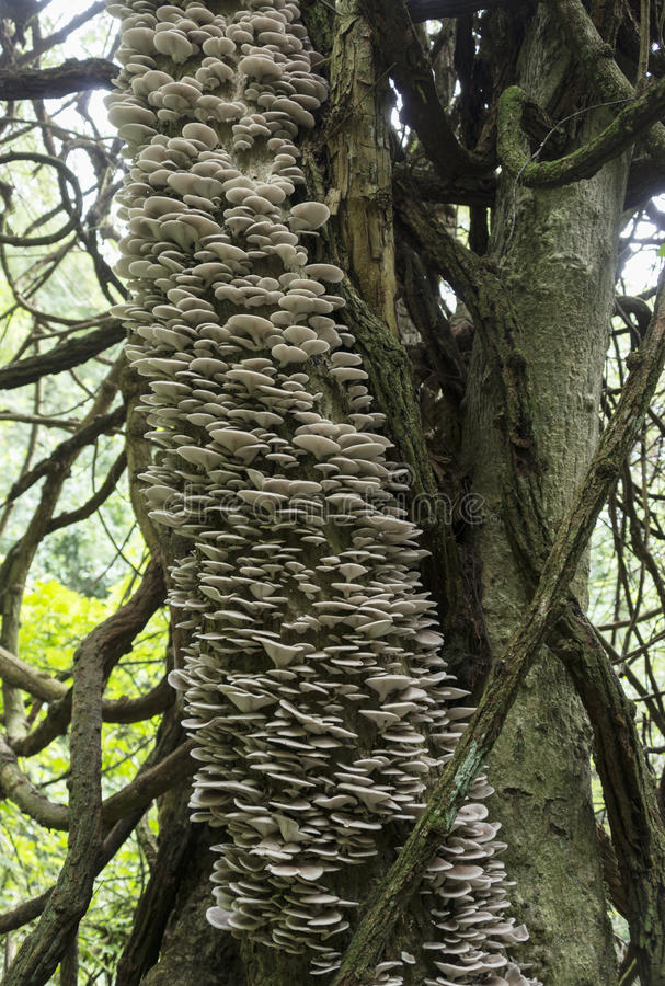 Tree full of mushrooms and fungi. Tree full of mushrooms and fungus in the tropical forest of Sabie south africa stock photography