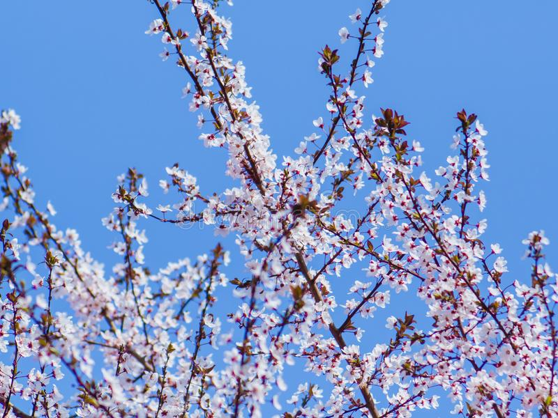 Tree in full spring bloom - beautiful small white flowers stock image