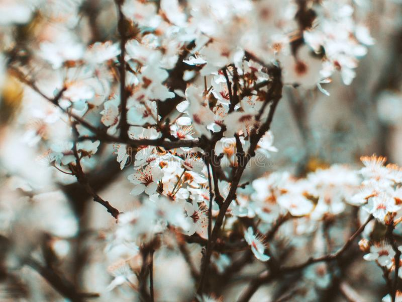 Tree in a full spring bloom - beautiful white flowers stock photos