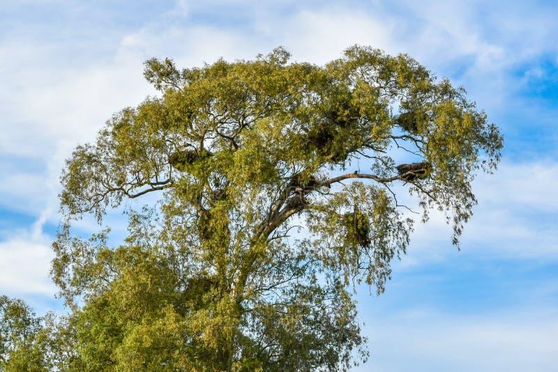 Tree full of stork nests stock images