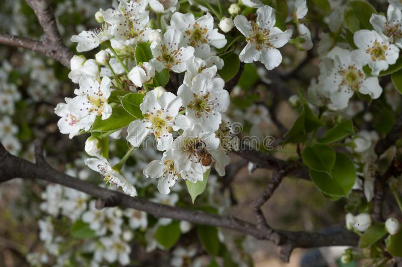 Beautiful white pear blossoms in spring with bee flying. Tree full of white pear blossoms in spring with bee collecting nectar stock photography
