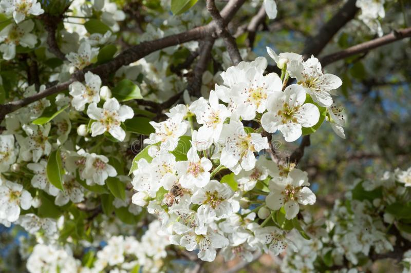 Tree full of white pear blossoms in spring with bee. Flying to collect nectar royalty free stock photo