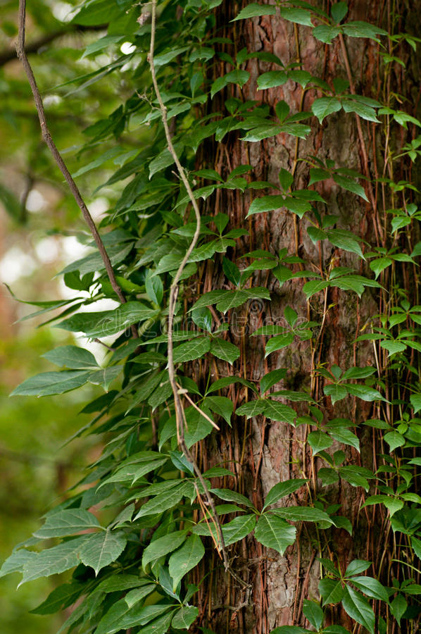Download Tree Fully Covered With Ivy Leaves Stock Image - Image: 26497971