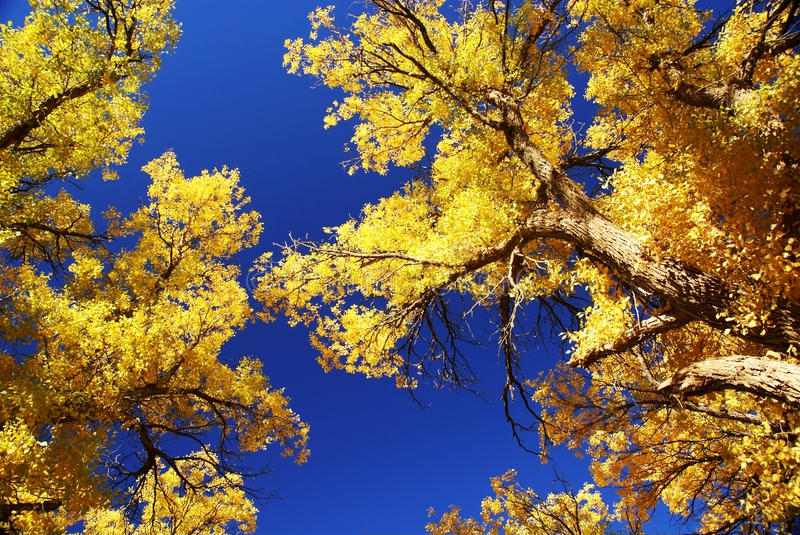 Tree With Golden Leaves And Blue Sky Stock Image