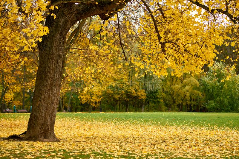 Tree with golden leaves on the glade royalty free stock images