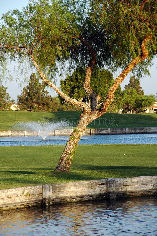 Tree on golf court. Tree on a golf court in palm springs california royalty free stock images