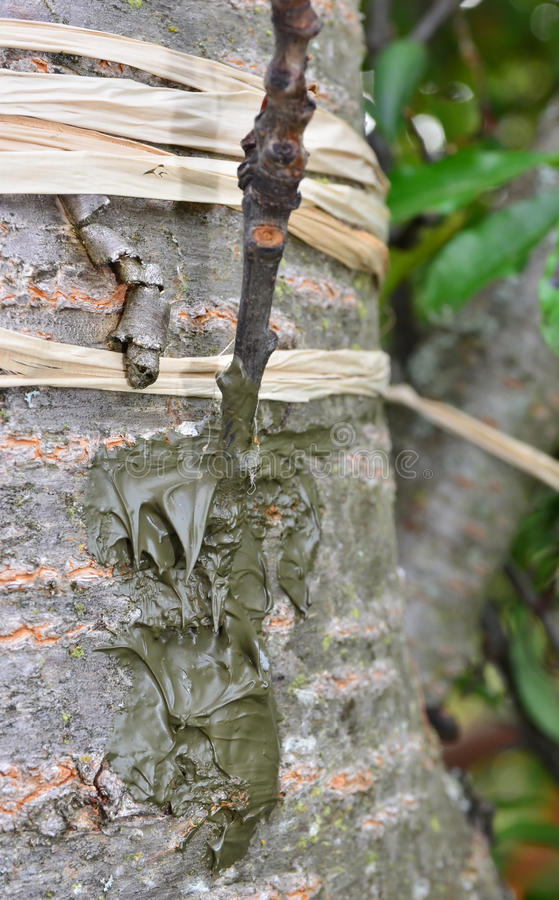 Tree Graft. Graft of a commercial fuiting cherry scion (twig) onto a wild cherry stock, using the side bud technique stock photo