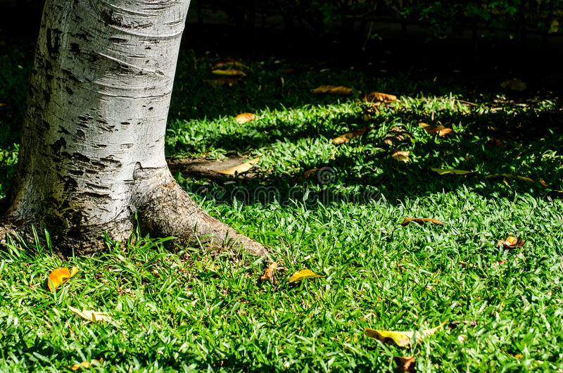 Tree and grass background in noon. Tree root and grass background in noon stock photos