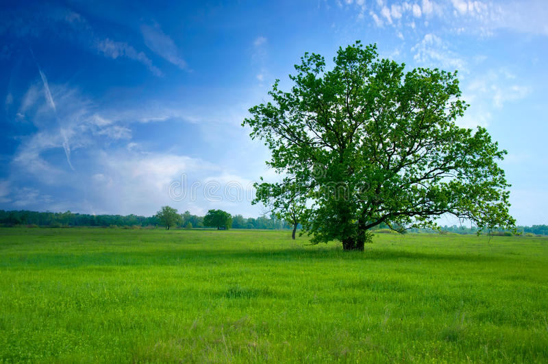 Tree on green field. The blue sky and white clouds royalty free stock images