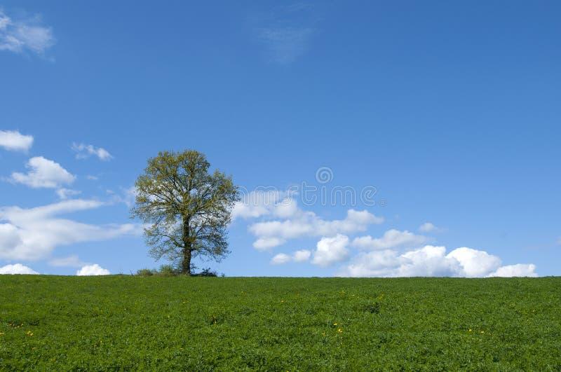 Tree In Green Field . Stock Photo