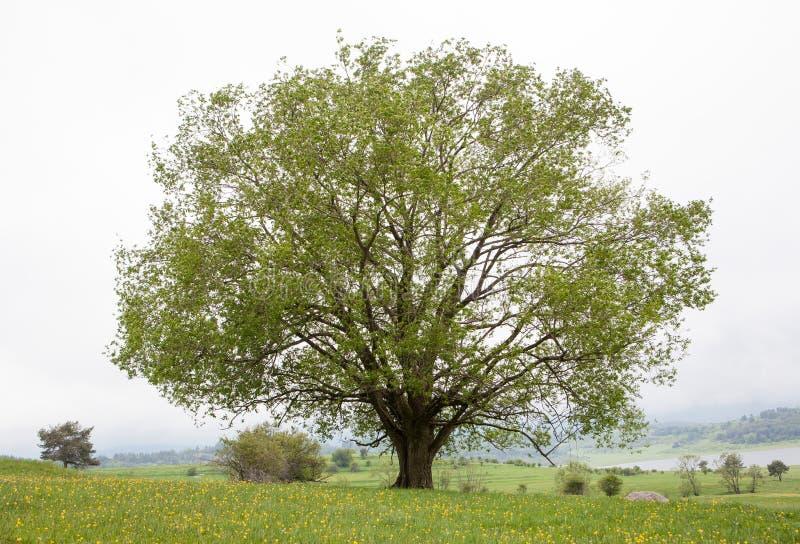 Tree On Green Field Royalty Free Stock Photo