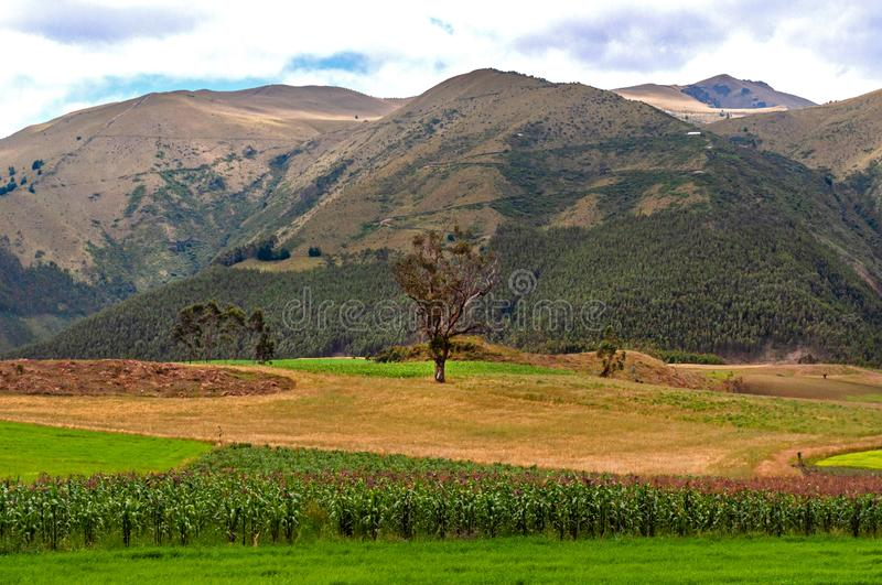 Tree in a green field with mountains in the background. Beautiful tree in a green field, with crops, and mountains in the background. Imbabura province, Ecuador royalty free stock images