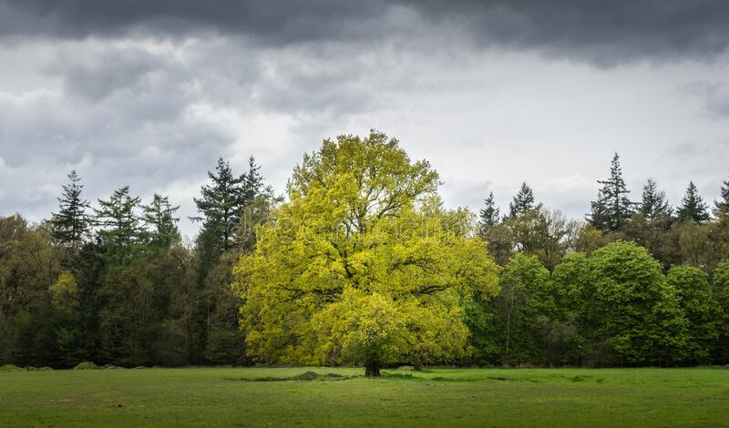 Tree in green field royalty free stock image