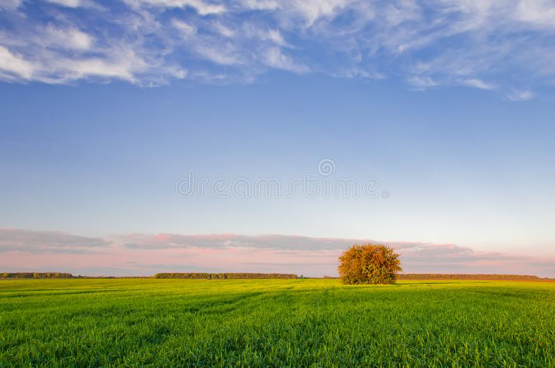 Tree in green field of wheat on a background of blue sky with clouds.  royalty free stock image