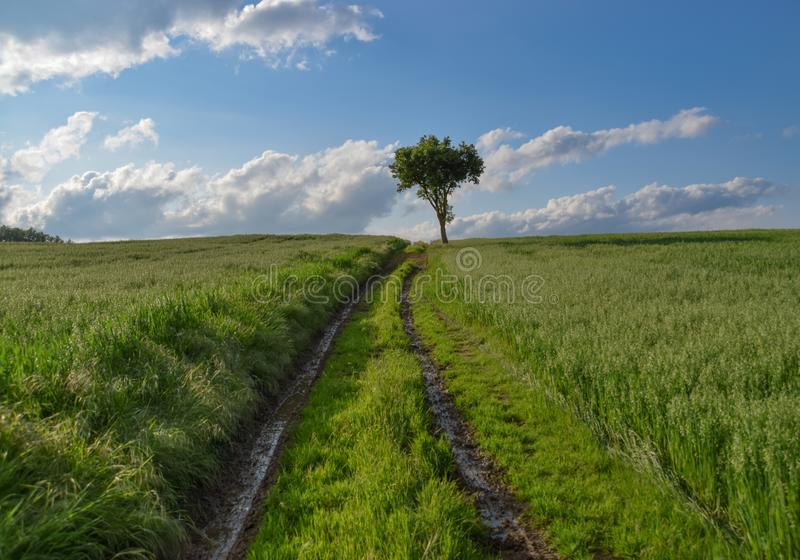 Tree on a green field of wheat royalty free stock image