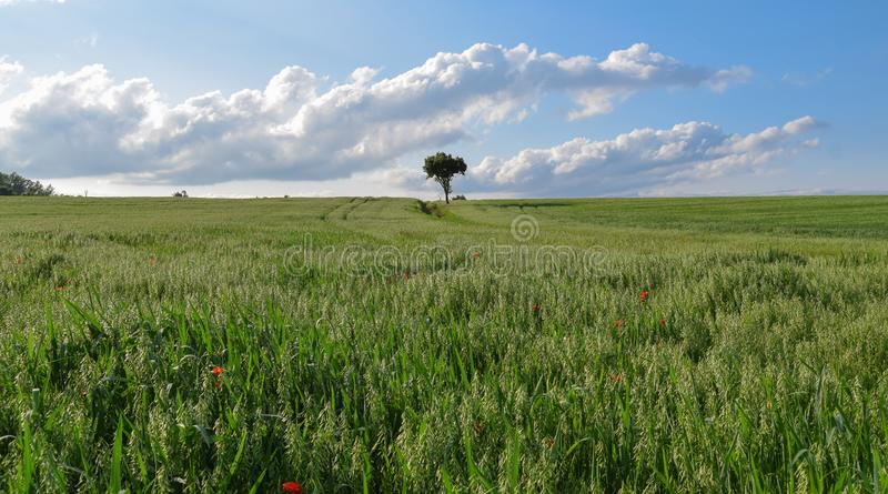 Tree on a green field of wheat. Panorama with blue sky an clouds, rural countryside stock photography