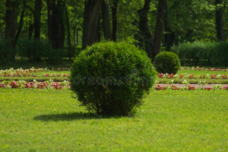 Tree with green foliage cutted in round shape. ball shaped bush. In the park, fresh, garden, leaf, nature, plant, decoration, design, landscape, spring, summer stock photo