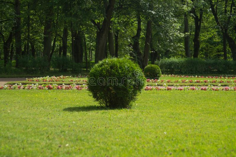 Tree with green foliage cutted in round shape. ball shaped bush. In the park, fresh, garden, leaf, nature, plant, decoration, design, landscape, spring, summer stock photography