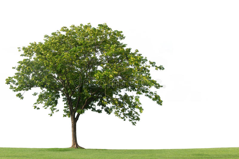 Tree on green grass field isolated on the white backgrounds