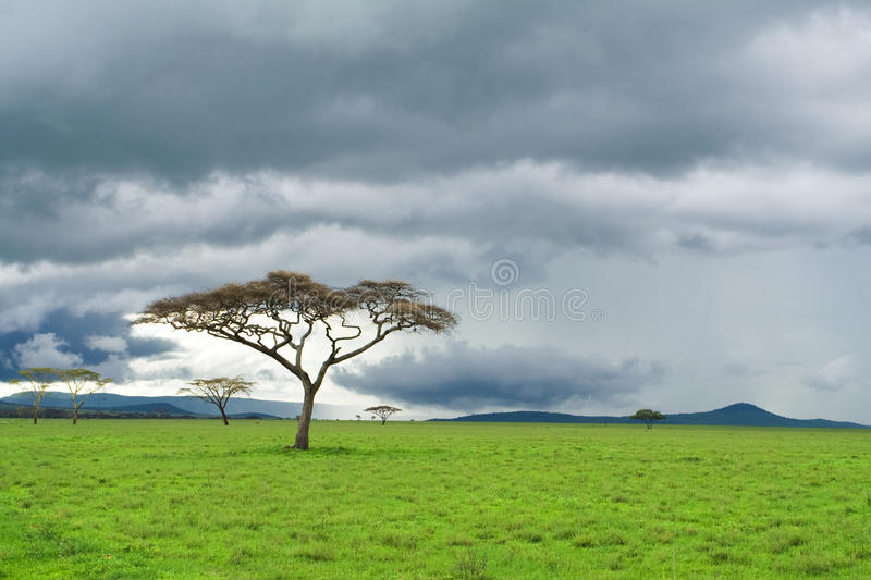 Tree, green grassland, and storm cloud in savannah royalty free stock photo