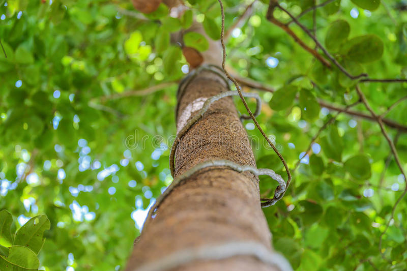 Download The Tree With The Green Leaves And Vines Stock Photo - Image of summer, beauty: 33530322