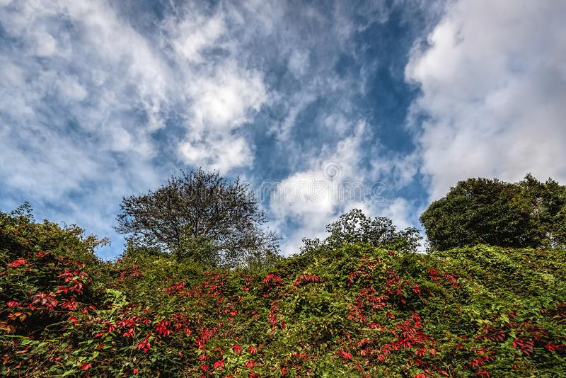 Tree and greenery under cloudy blue skies. Green tree and greenery with some red leaves under blue skies with fluffy white clouds royalty free stock image