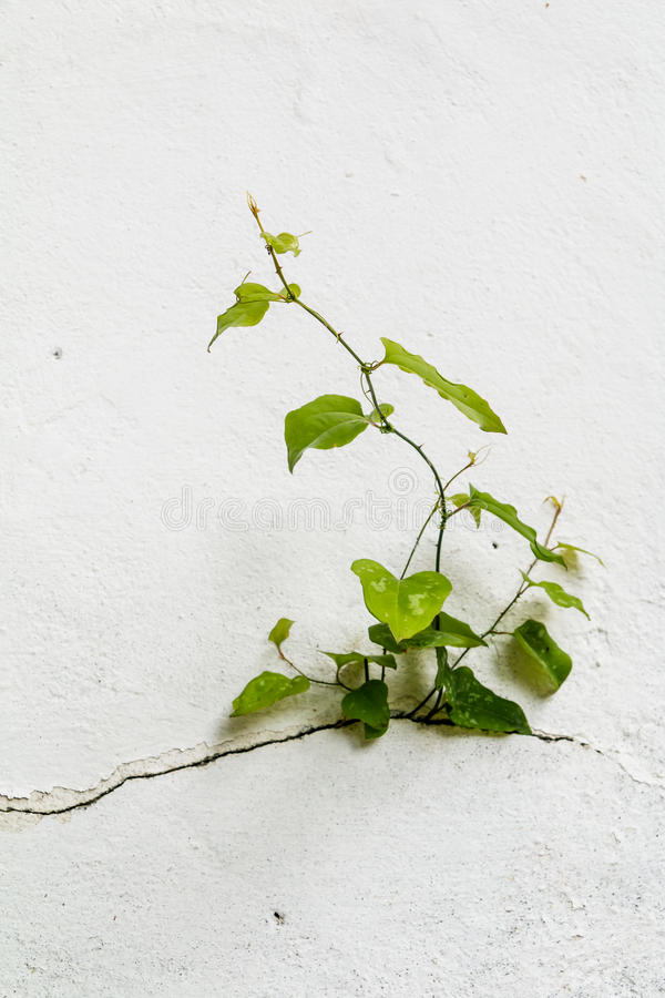 Tree growing through Cracked wall.Small tree-during the growth on cement wall. Old plaster walls cracked crack.weed royalty free stock photo