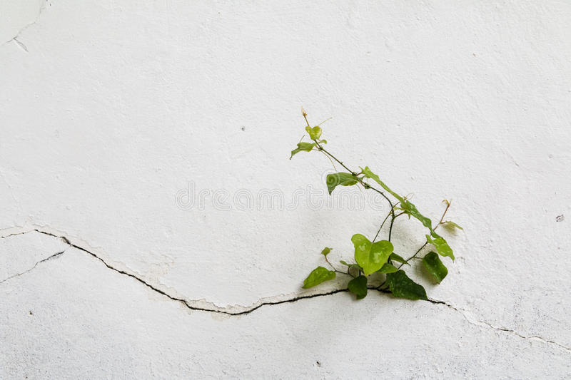 Tree growing through Cracked wall.Small tree-during the growth on cement wall. Old plaster walls cracked crack.weed stock images
