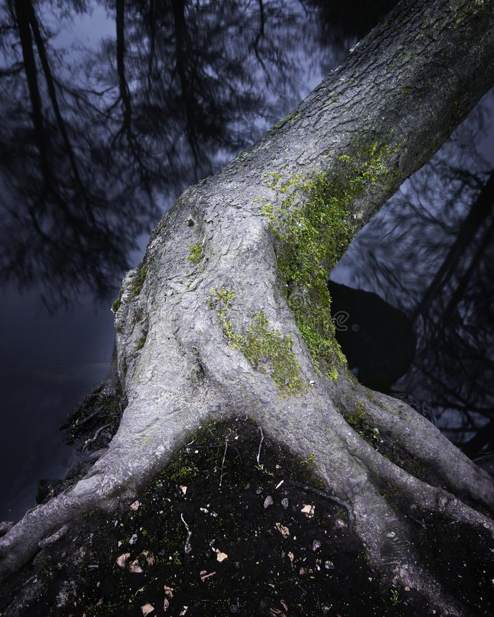Tree growing on lakeshore. Bendy tree with exposed roots covered with moss growing on lakeshore and reflection of trees in water.Long exposure ,blue hour nature stock photos