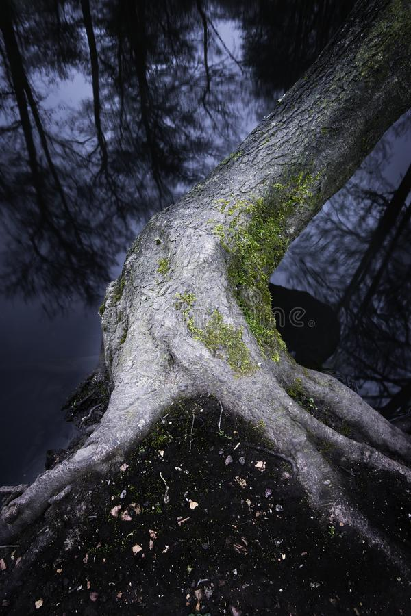 Tree growing on lakeshore. Bendy tree with exposed roots covered with moss growing on lakeshore and reflection of trees in water.Long exposure ,blue hour nature stock photography
