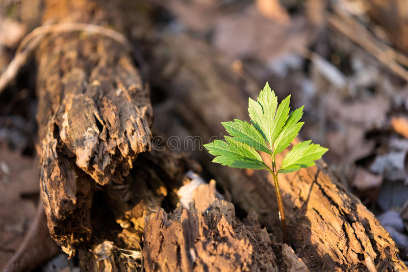 Tree growing from an old, dead, dying, rotted tree. This image symbolizes rebirth, reborn, new birth, and overcoming obstacles and perseverance. Going green can stock image