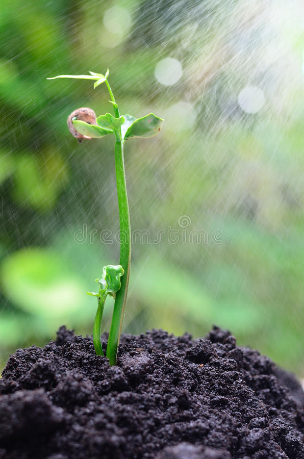 Tree growing over soil. And rain royalty free stock photography
