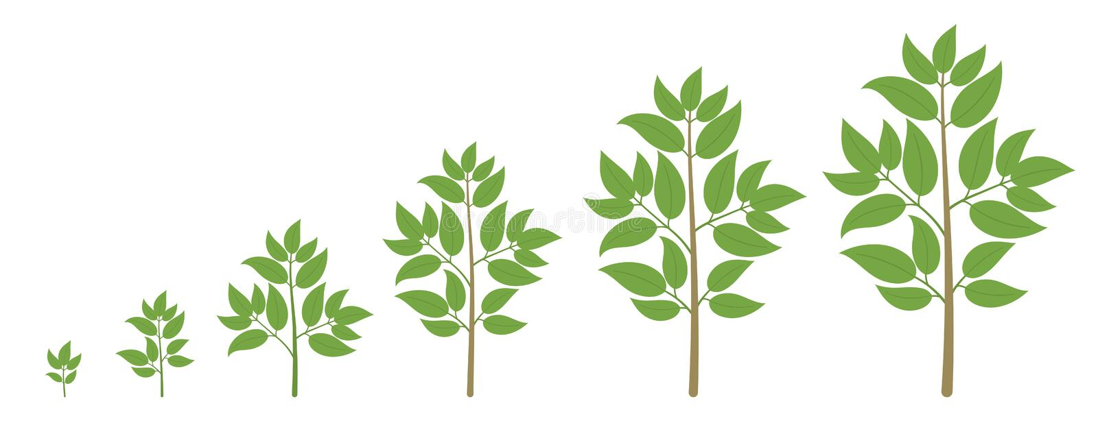 Tree growth stages. Ripening period progression. Tree life cycle animation plant seedling phases. Tree growth stages. Vector illustration. Ripening period vector illustration