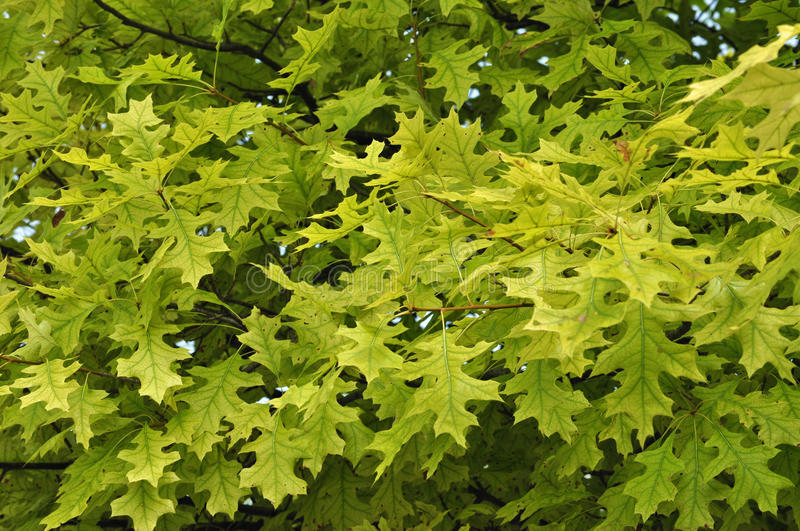 Tree Health Problems: Chlorosis. Closeup view of a pin oak tree suffering from severe chlorosis. This condition results in a general yellowing of foliage royalty free stock photos