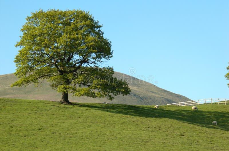 Tree on hill royalty free stock photo