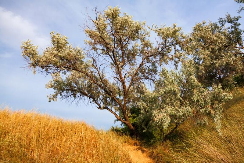 The tree on a hill with dry grass stock photography