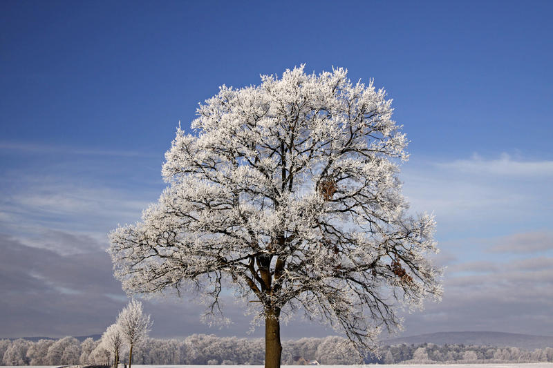 Tree with hoarfrost, Bad Laer, Germany. Tree with hoarfrost, Bad Laer, Osnabrueck country, Lower Saxony, Germany royalty free stock images