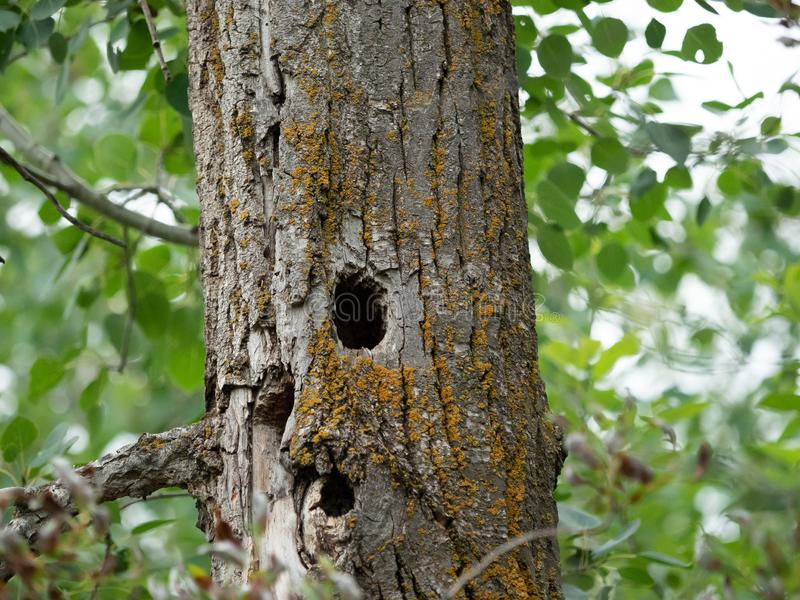 Tree with a hole in the trunk. Bark, saw, whet, owl, saw-whet, orange, lichen, moss, forest, bish, bush, bird, watching, watcher, home, nest, hide, hidimg stock images