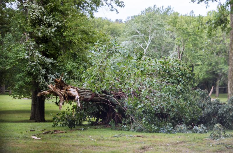 Tree after hurricane a strong storm went through. Fallen tree, tornado, bad, weather, super, damaged, destroyed, windbreak, windfall, broken, trees, forest stock image