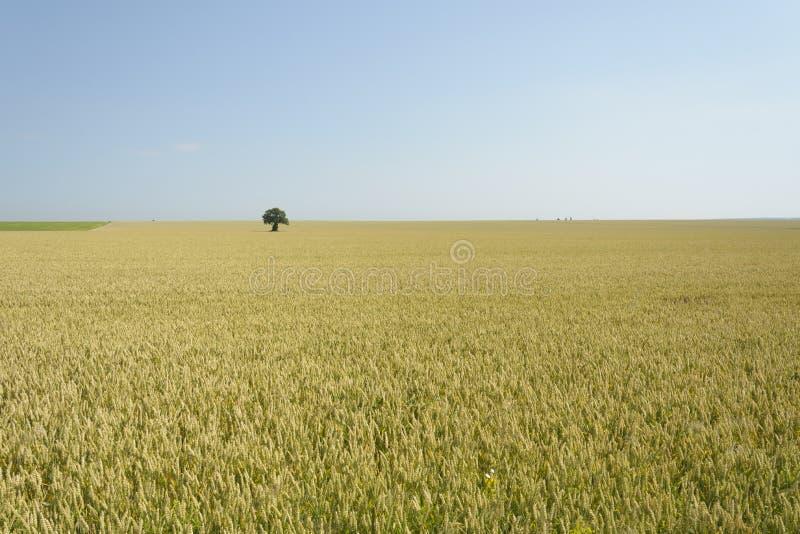 Tree i ett vetefält arkivfoto