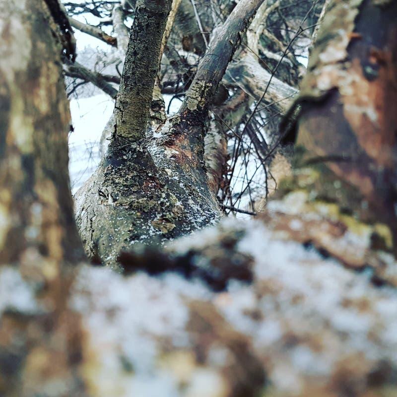 Tree i vinter arkivbild