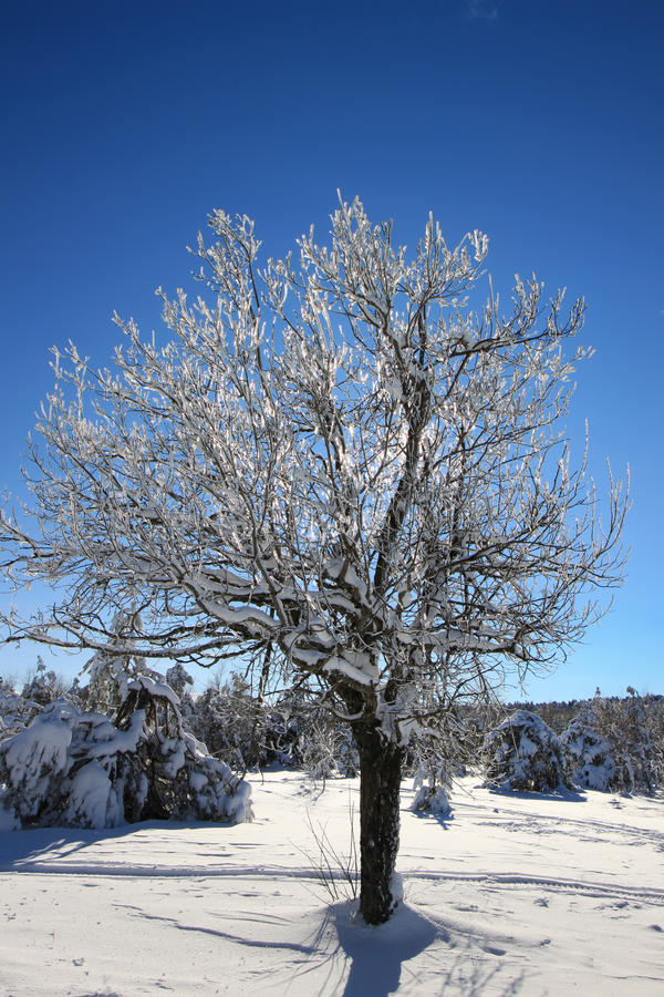 Tree with icy branches royalty free stock photo