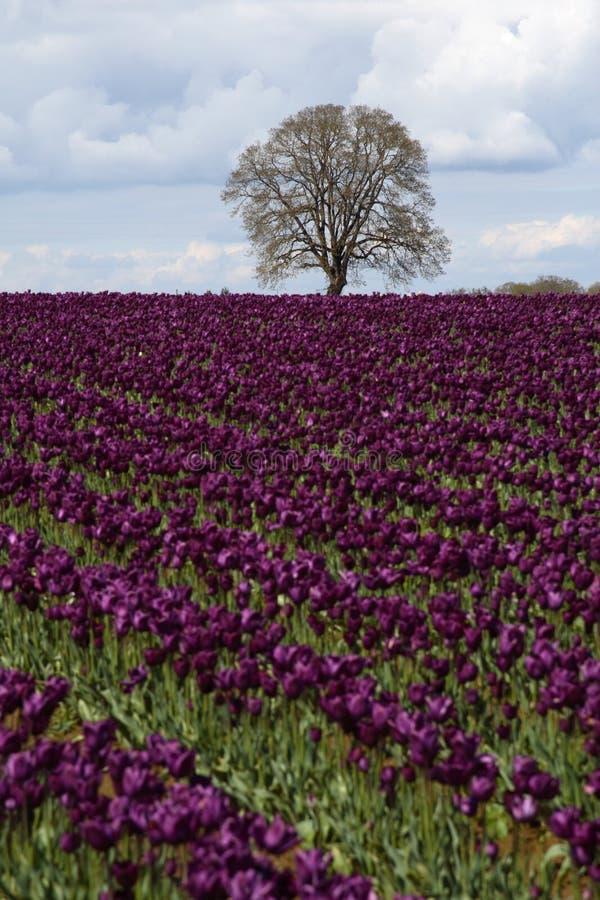 Free Tree In Field Of Purple Tulips Stock Photos - 5044123