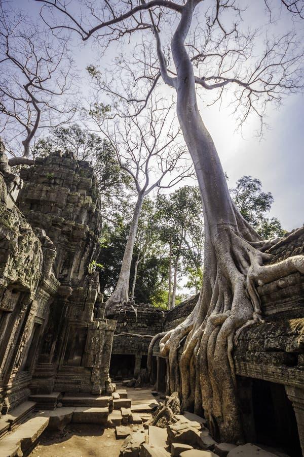 Free Tree In Ta Phrom, Angkor Wat, Cambodia, Asia. Stock Photo - 24909640