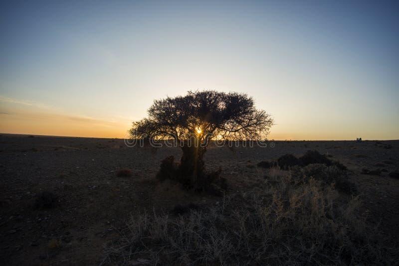 The gobi desert trees silhouette at sunrise. A tree in Inner Mongolia gobi desert in western China stock photography