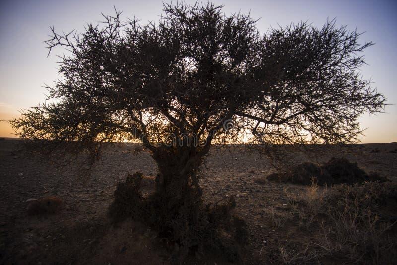 The gobi desert trees silhouette at sunrise. A tree in Inner Mongolia gobi desert in western China royalty free stock images