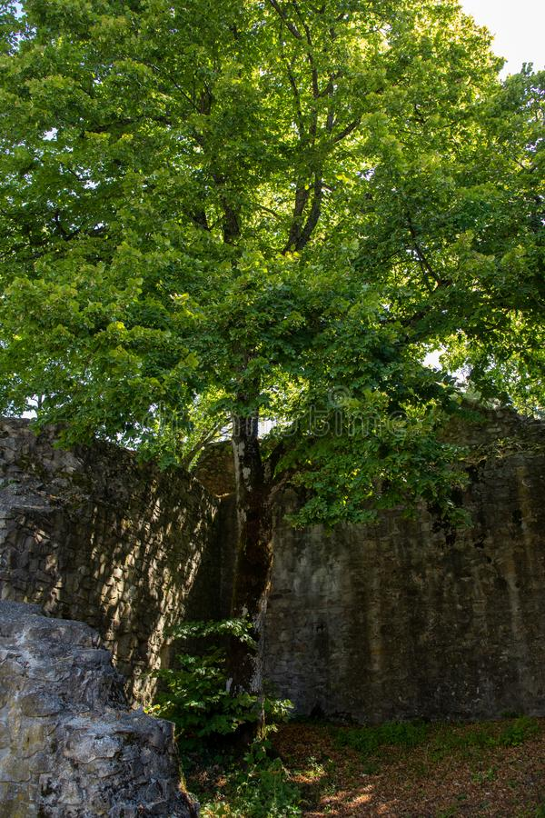 A tree inside the castle ruins of Burg Neuenfels in the black forest stock image